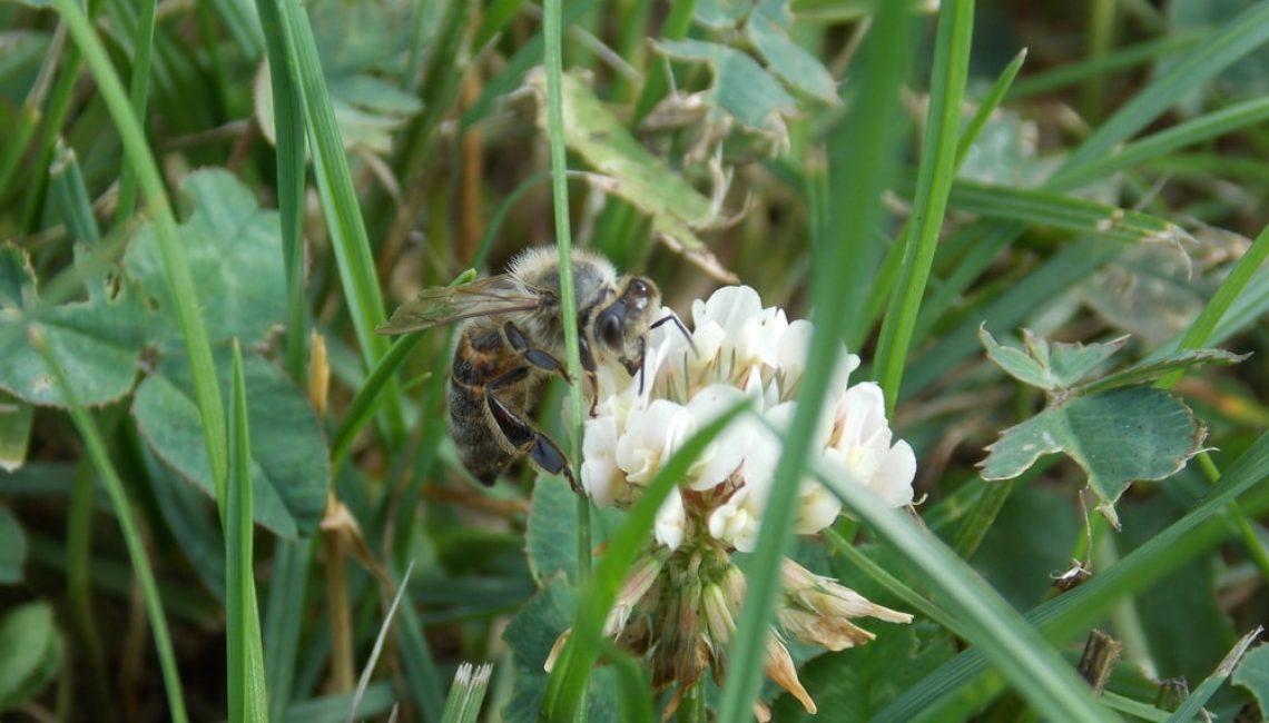 Bee In Clover